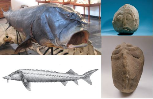 """A comparison of the anatomical characteristics of a beluga sturgeon (large, bent mouth and a row of bone plates on the back, a-b) with a sculpture found in the building 57/XLIV at Lepenski Vir. (Sculpture """"Danubius"""", National Museum in Belgrade, inventory number 2/38; Stuffed Beluga Sturgeon, Jonathan Cardy, 2014; Huso, huso. Jakob Heckel"""